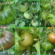 夏野菜栽培《とまと》…