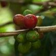 アラビカ種の品種改良…
