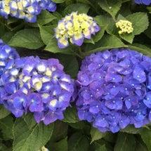 アジサイの甘い花