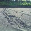 ウミガメの上陸
