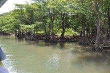 河畔に繁るマングローブ