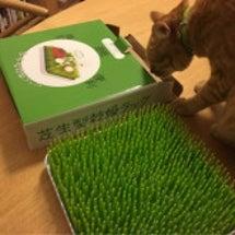 猫草みたいな水切りラ…