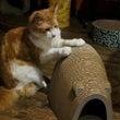 猫音の天然素材、ダリ…