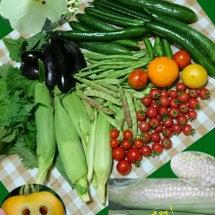夏野菜栽培 採れる…