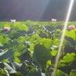 今朝のハスの花♪