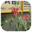 今年も紅葵の季節です…