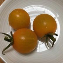 祝・ミニトマト収穫