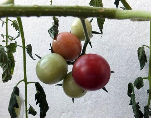 tomatemate-2