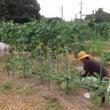 【畑くらぶ】農業体験…