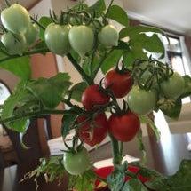 プチトマトは素晴らし…