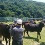 黒毛和種メス牛の品評…
