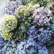 紫陽花収穫