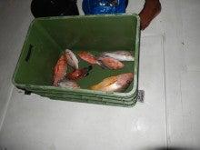 釣った赤いお魚