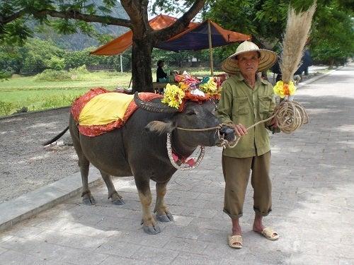 ベトナム ハノイ 水牛