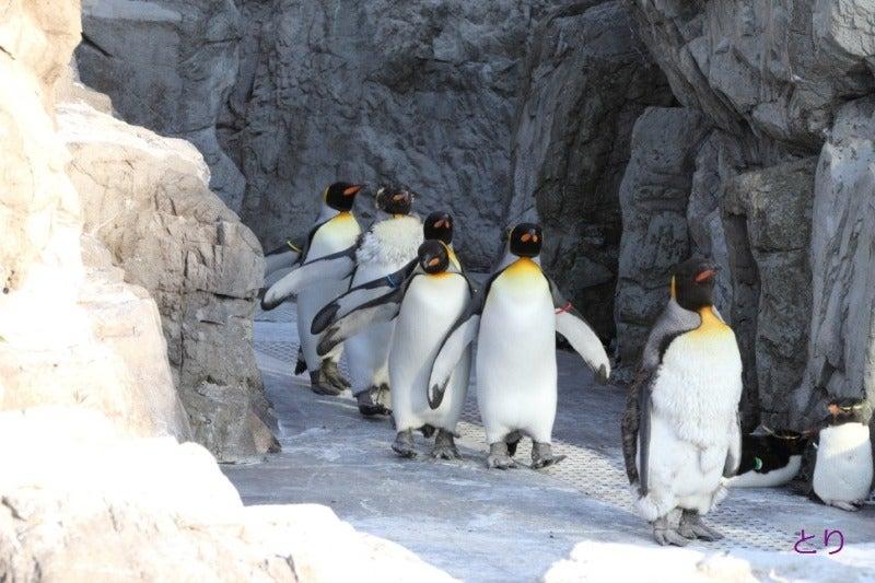 2016年4月29日の葛西のペンギンたち