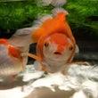 金魚の魅力
