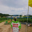 夏野菜の収穫体験!