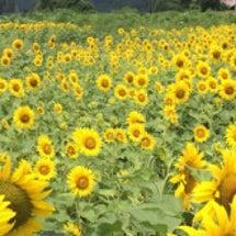 ひまわり畑〜静岡市葵…