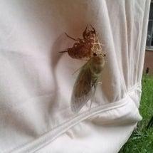 蝉の脱皮を直視した!