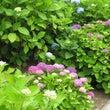 紫陽花、いろいろ