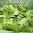 連日のグァバ葉の収集…