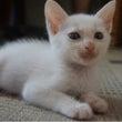 【里親募集】白猫オス…