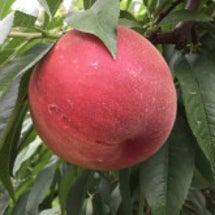 もうすぐ桃の季節です…
