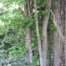しなの木って知ってま…