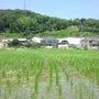 mojao rice…
