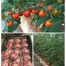 酵素で育ったトマト