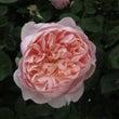 薔薇のハートヒーリン…