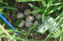 キジと思しき卵