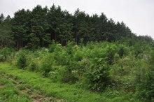 下草刈りを待つ植林地