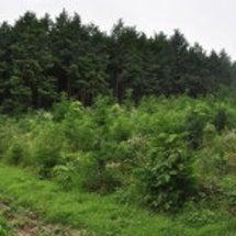 植林地の下草刈り