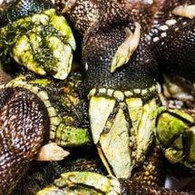亀の手は甲殻類の。。