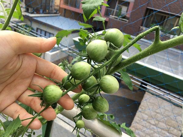 ミニトマトネネの水耕栽培