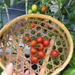 水耕栽培ミニトマトは…