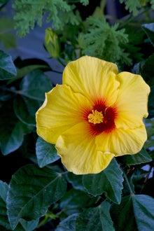 黄色いハイビスカスの花(ぱくたそ)