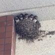 近所にしめじの巣があ…