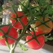 ミニトマト&ローフー…