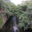 初夏の目黒川沿いを歩…