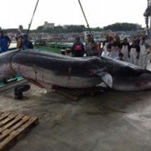 クジラが 網にかかっ…