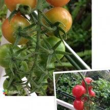 可愛いミニトマト
