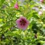 アニソドンティアの花