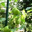 庭のトマトと独り言。…