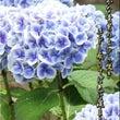 あさらかな青紫
