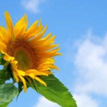 いつまでも咲く向日葵