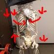 呼吸時の肋骨の動き