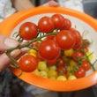 ベランダ産プチトマト