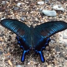 美しいアゲハチョウ!